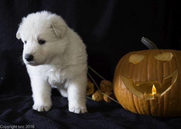 Zwitserse witte herder pup op 2 november 2016 Teef Zwart