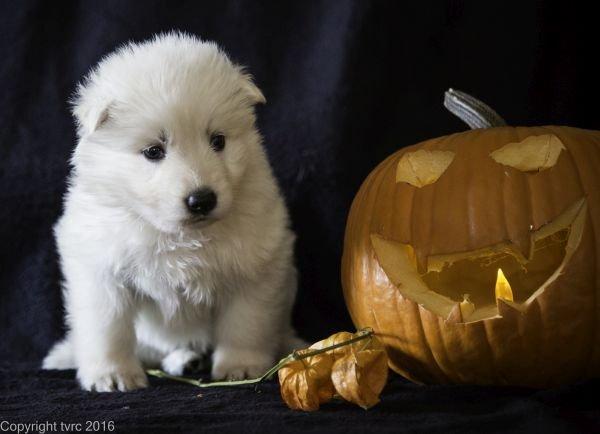 Zwitserse witte herder pup op 2 november 2016 teef Roze