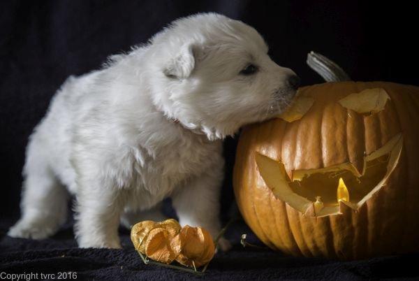 Zwitserse witte herder pup op 2 november 2016 teef oranje