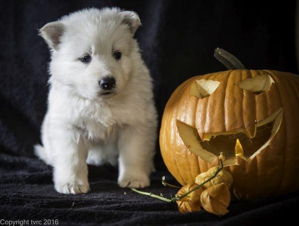 Zwitserse witte herder pup op 2 november 2016 Teef Groen