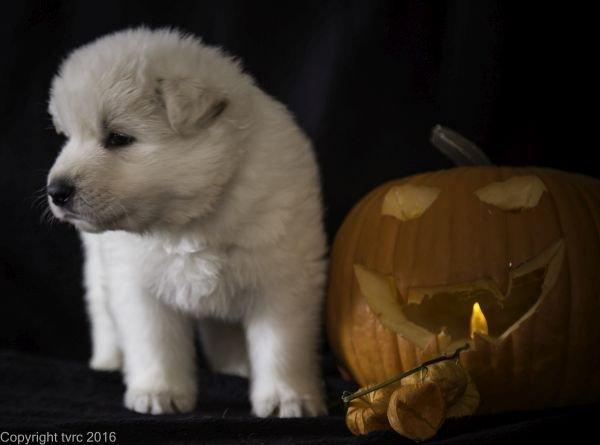 Zwitserse witte herder pup op 2 november 2016 Reu Rood