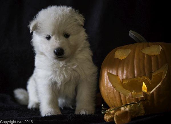 Zwitserse witte herder pup op 2 november 2016 Reu Wit