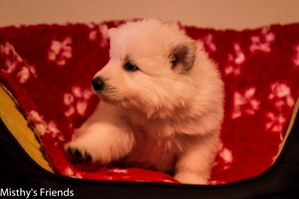Zwitserse witte herder pup op 9 november 2016 teef roze
