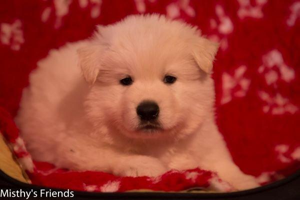 Zwitserse witte herder pup op 9 november 2016 reu rood