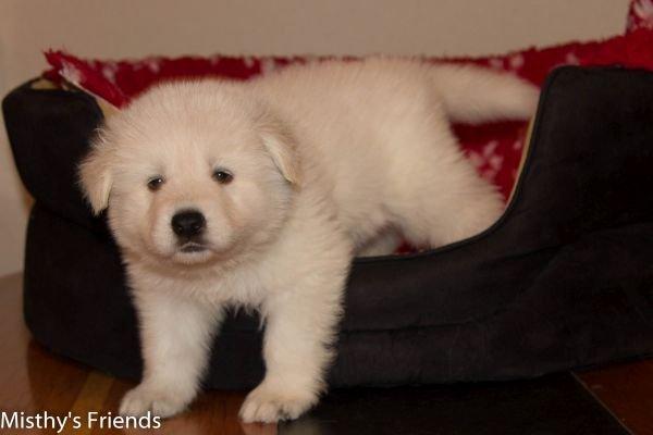 Zwitserse witte herder pup op 9 november 2016 Reu wit