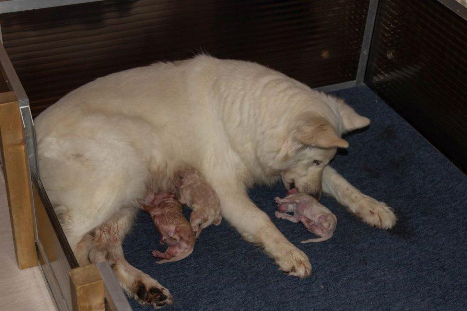 Zwitserse witte herder Misthy's Friend O nest 6 Pupje en poetsen maar