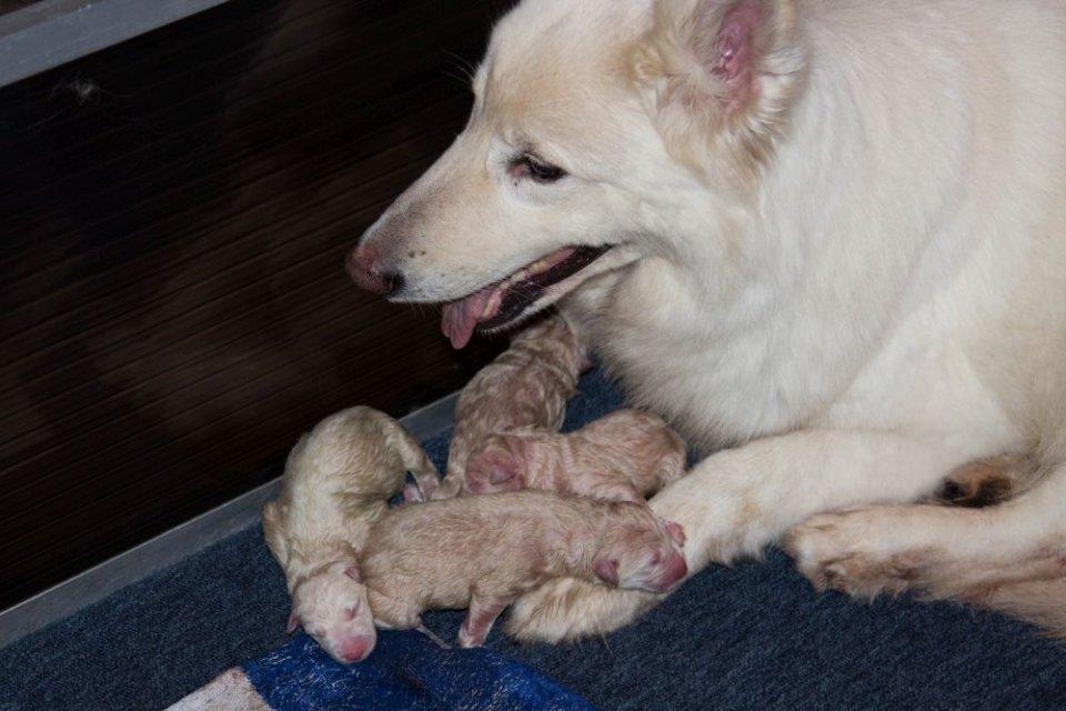 Zwitserse witte herder Misthy's Friend O nest Pupje Enjoy met haar 6 pups