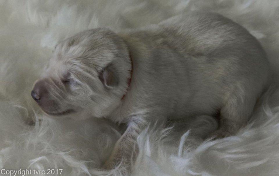 Foto's gemaakt op 8 april 2017 pup teef Rood