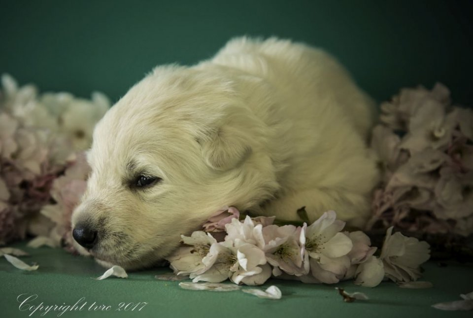 Foto's gemaakt op 18 april 2017 pup reu wit