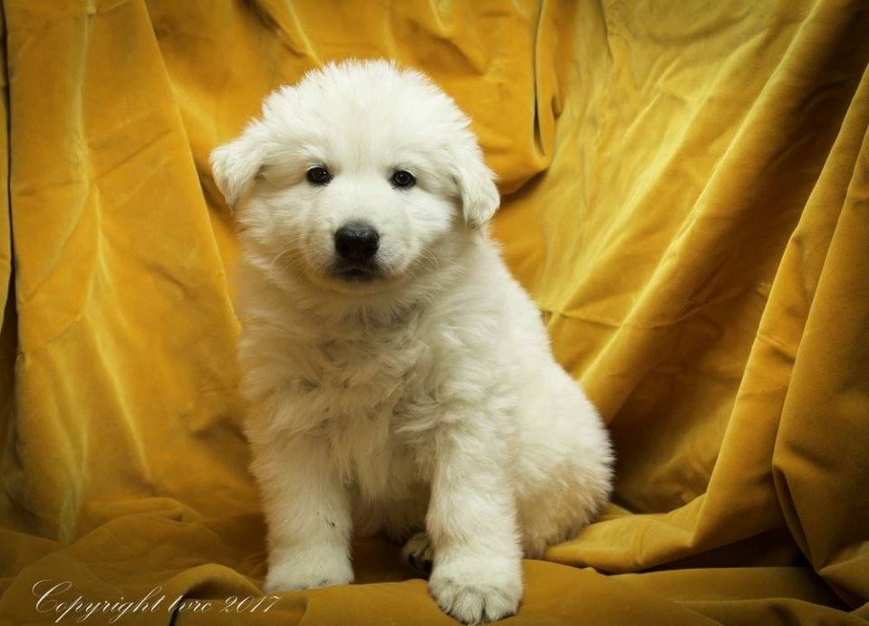 Foto's gemaakt op 9 mei 2017 pup Teef Rood Alaska