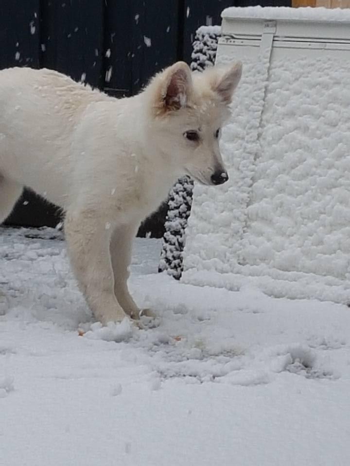 Zwitserse witte herder Misty's friends Puck Eerste sneeuw