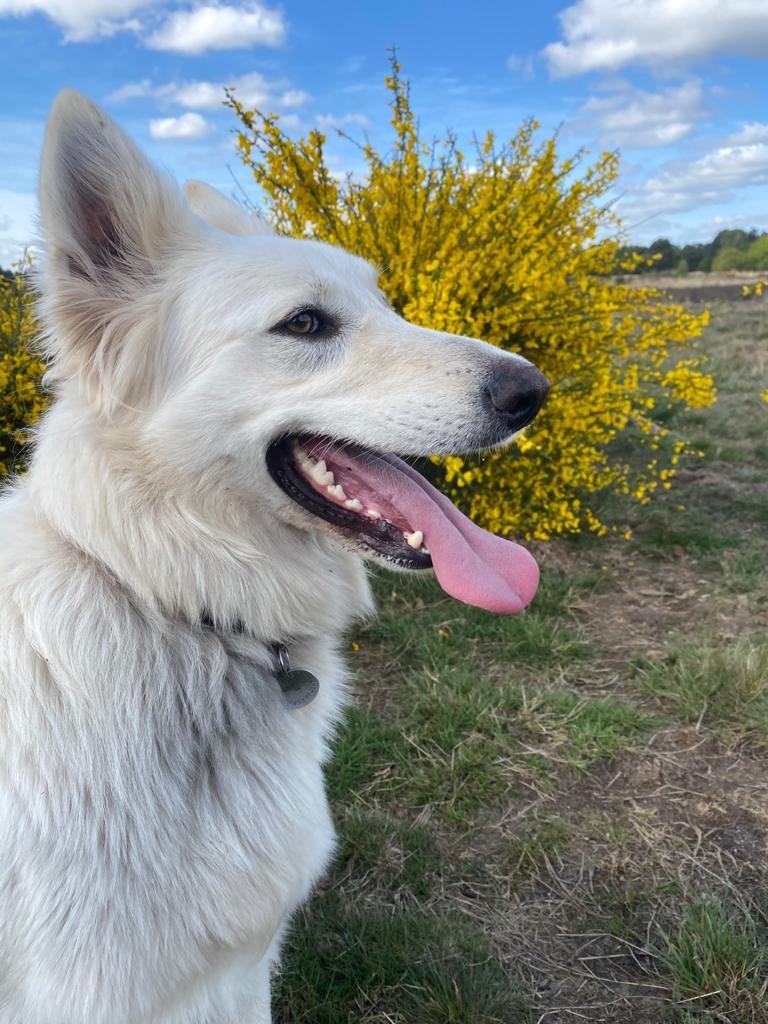 Zwitserse witte herder Misthy's Friend pup Pacific Silver mei 2020 met beeld
