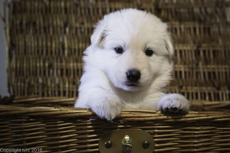 Zwitserse witte herder p nest foto's 22 augustus 2017 pupje Teef Oranje Pippa