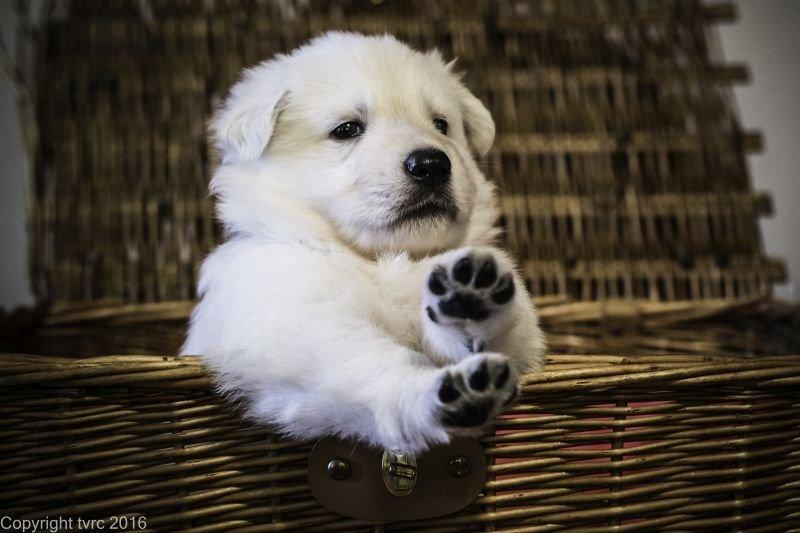 Zwitserse witte herder p nest foto's 22 augustus 2017 pupje Reu Zwart Dobby