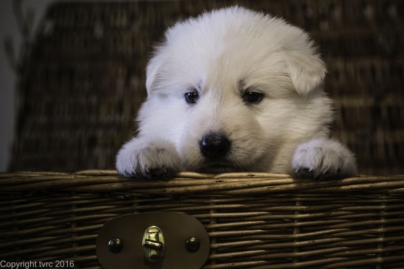 Zwitserse witte herder p nest foto's 22 augustus 2017 pupje Reu Bruin Prins Arlo