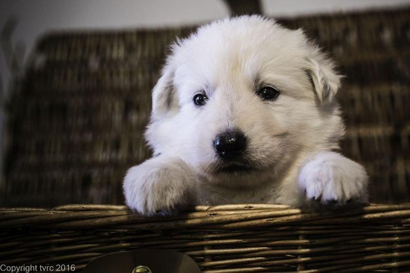 Zwitserse witte herder p nest foto's 22 augustus 2017 pupje Reu Romeo Romeo