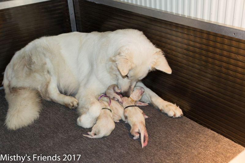 Geboorte P nest Zwitserse witte herder op 1 augustus 2017 3