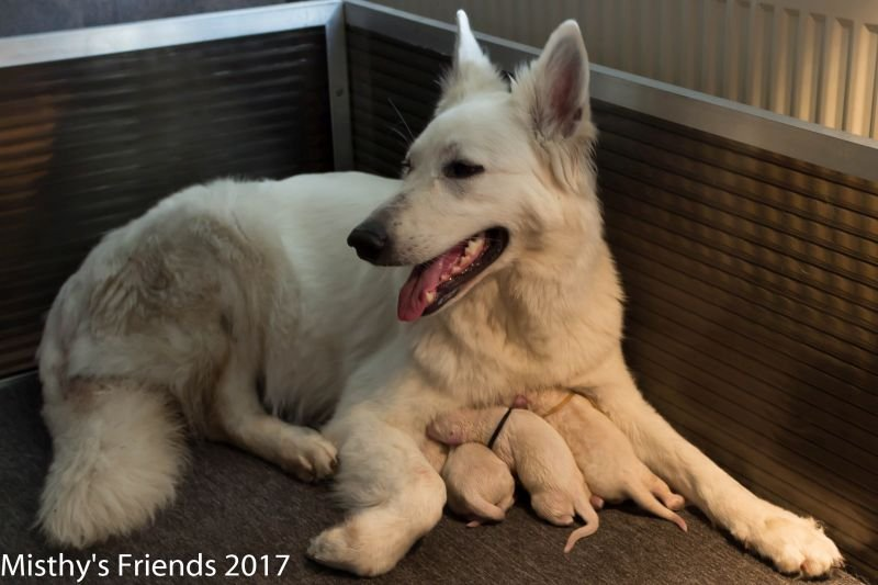 Geboorte P nest Zwitserse witte herder op 1 augustus 2017 5