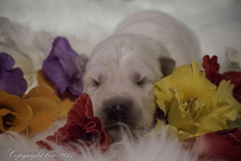Zwitserse witte herder Misthy's friends P nest pupje Teef Oranje