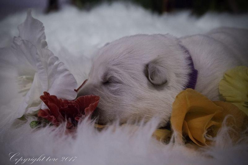 Zwitserse witte herder Misthy's friends P nest pupje Teef Paars