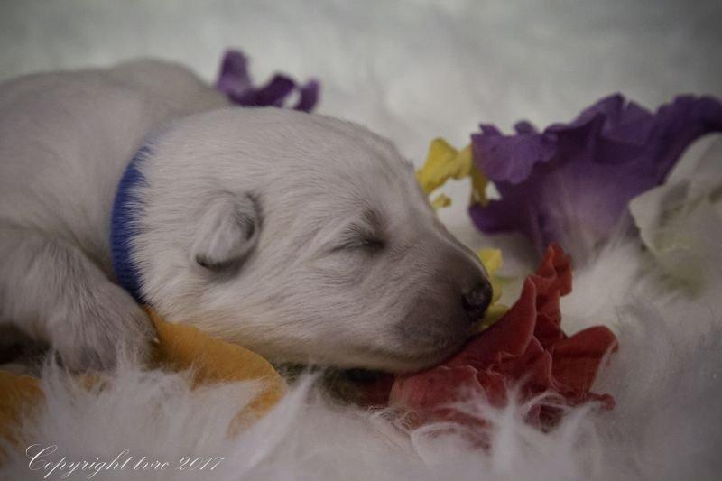 Zwitserse witte herder Misthy's friends P nest pupje Teef Blauw