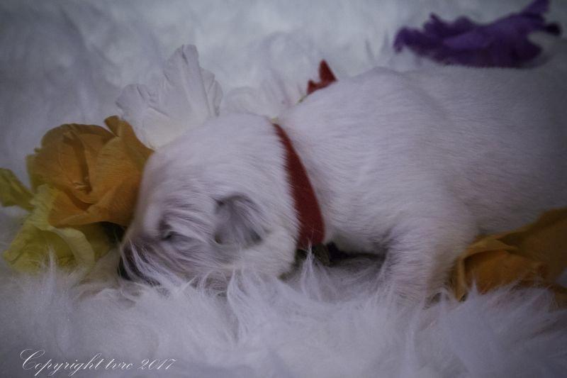 Zwitserse witte herder Misthy's friends P nest pupje Reu Rood