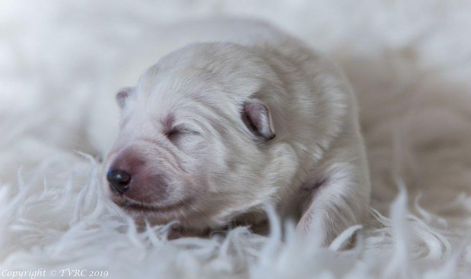 Zwitserse witte herder pup Misthy's Friends teef zonder bandje