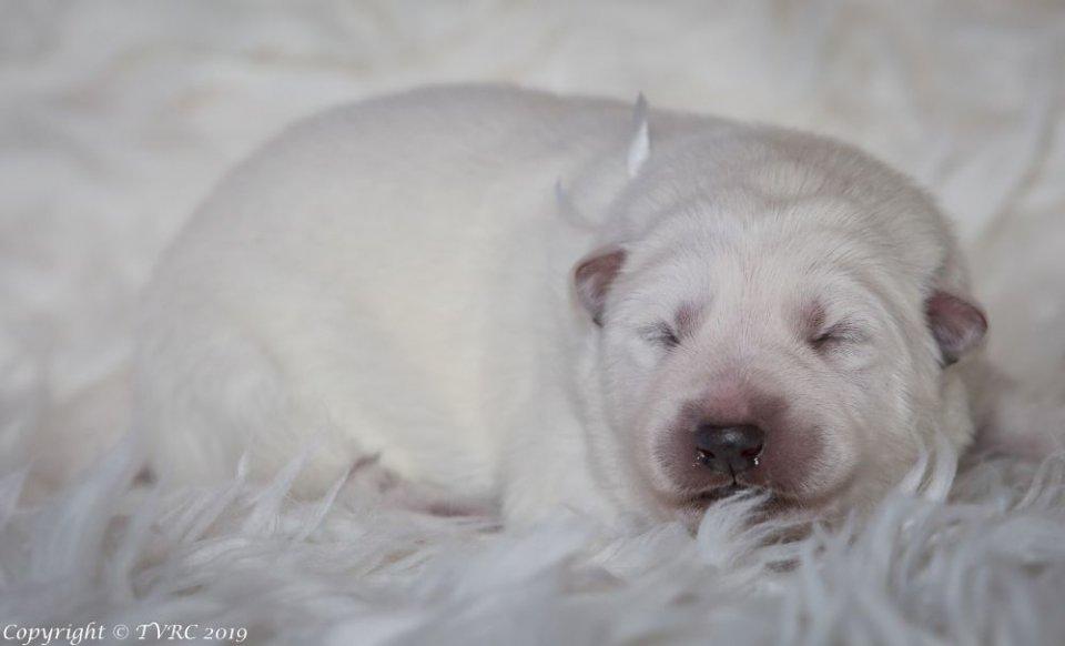 Zwitserse witte herder pup Misthy's Friends teef wit