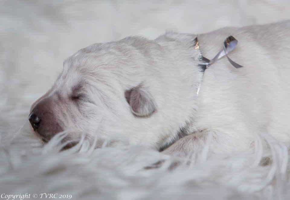 Zwitserse witte herder pup Misthy's Friends teef Silover