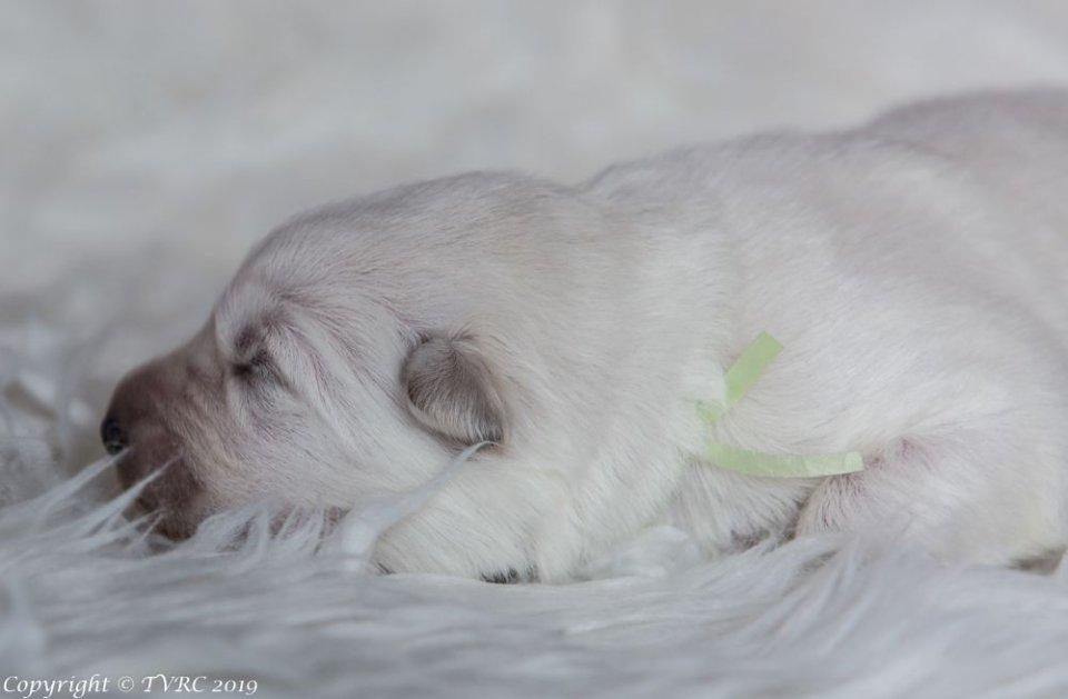 Zwitserse witte herder pup Misthy's Friends teef groen
