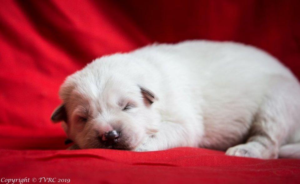 Zwitserse witte herder pup op 9 februari 2019 Misthy's Friends Bruin