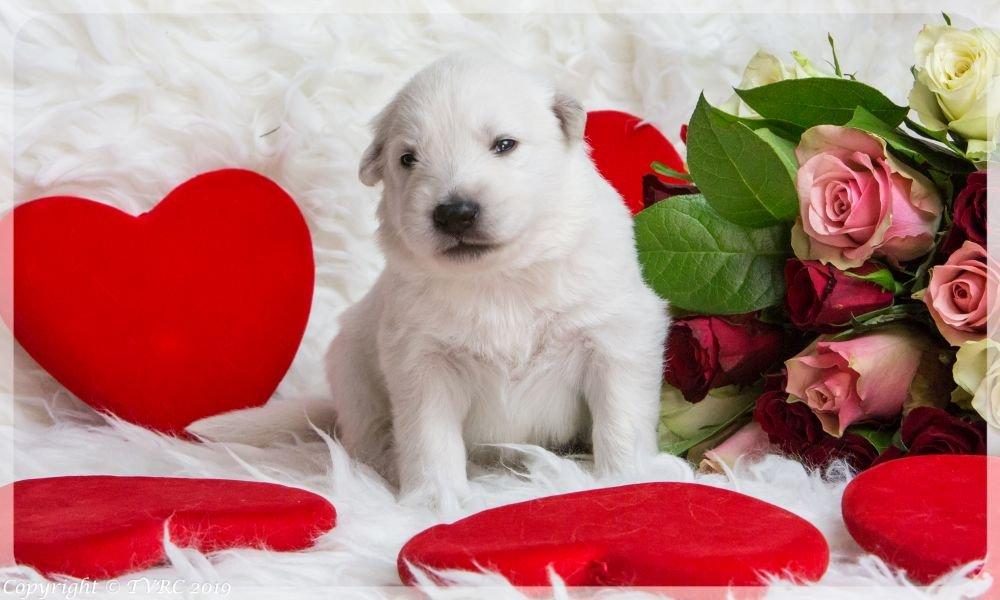 Valentine Foto's gemaakt op 14 februari 2019, pupje zonder bandje
