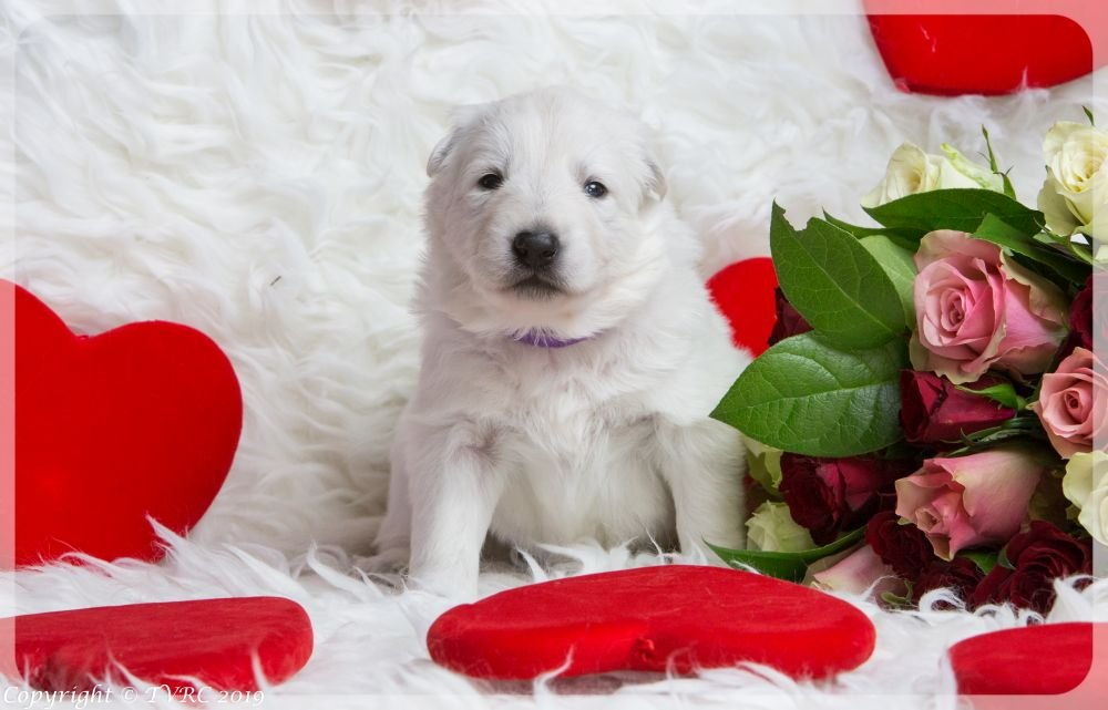 Valentine Foto's gemaakt op 14 februari 2019, pupje Paars