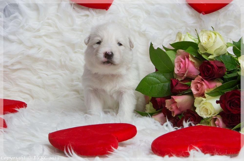 Valentine Foto's gemaakt op 14 februari 2019, pupje Rood