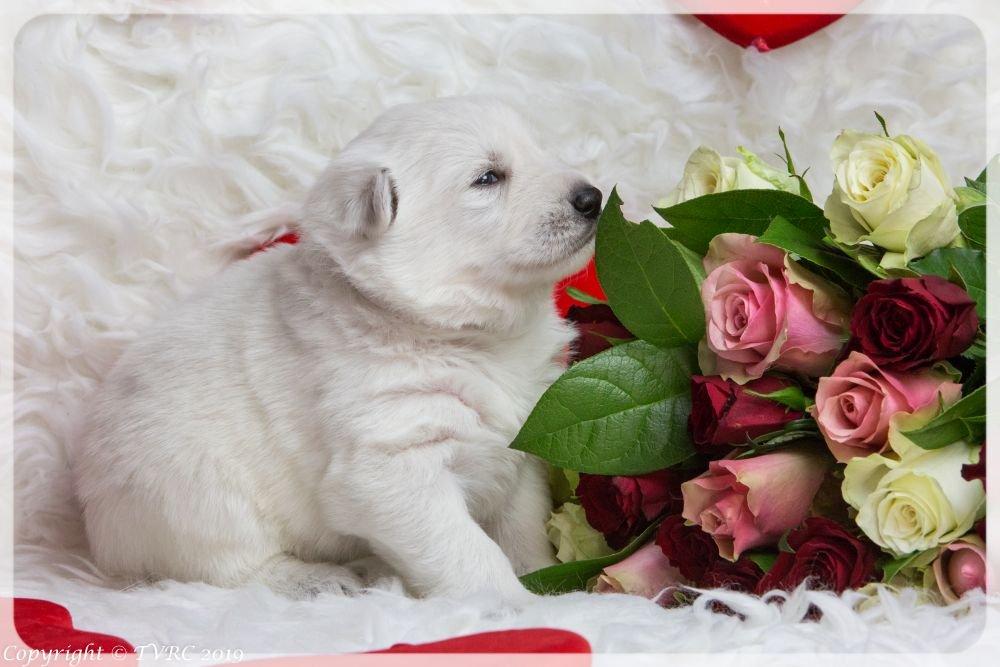Valentine Foto's gemaakt op 14 februari 2019, pupje Wit