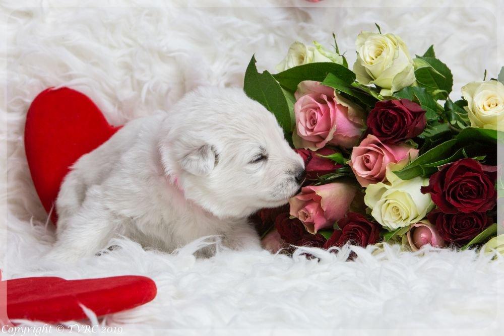 Valentine Foto's gemaakt op 14 februari 2019, pupje Roze