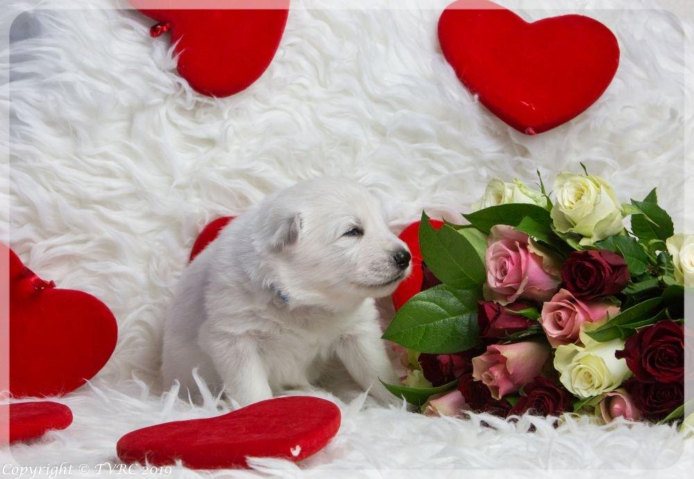 Valentine Foto's gemaakt op 14 februari 2019, pupje Blauw