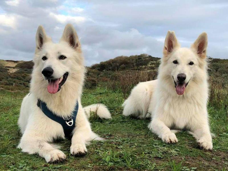 Zwitserse witte herder Misthy's Friends met Isa september 2020