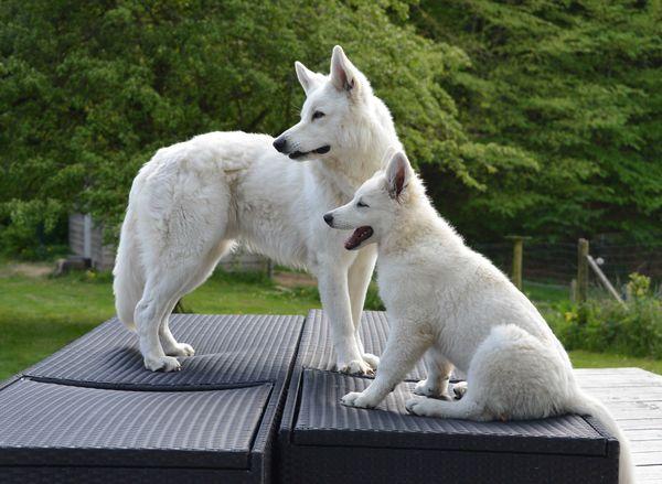 Zwitserse witte herder pup Misthy's Friends Qassia Juni 2019