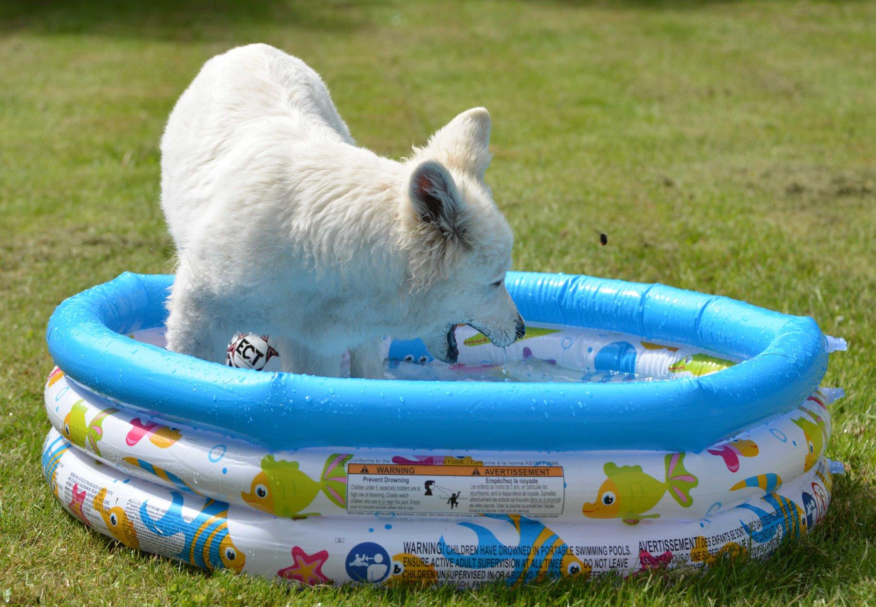 Zwitserse witte herder pup Misthy's Friends Qassia in bad