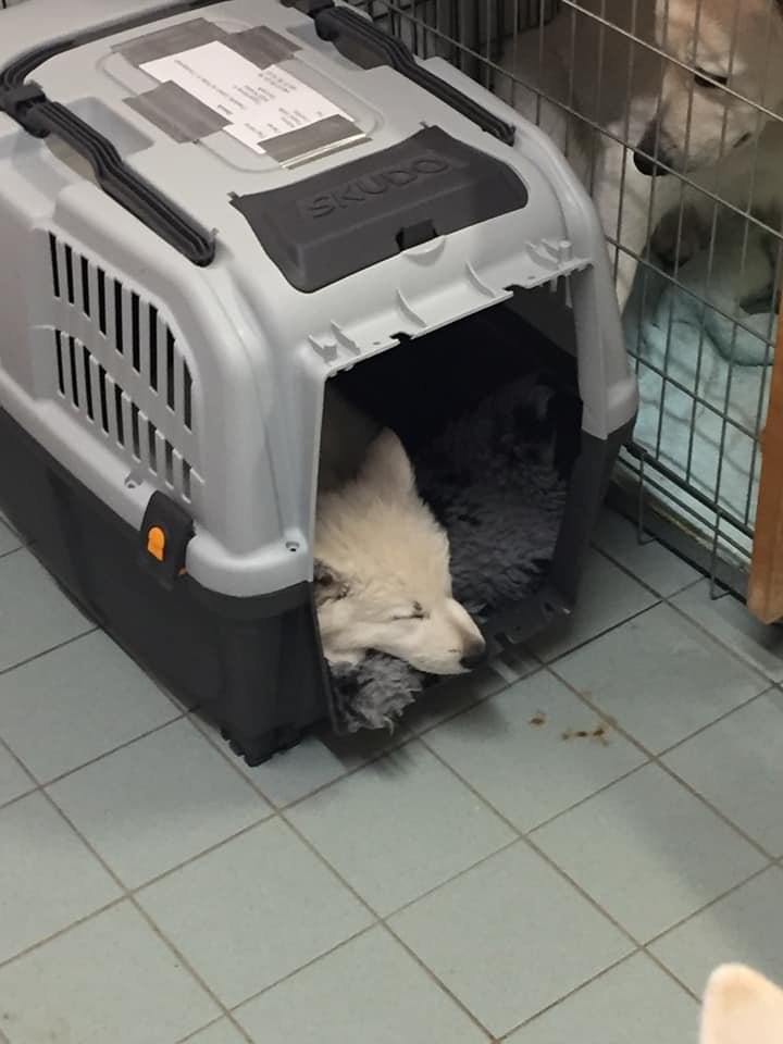 Zwitserse witte herder pup Misthy's Friends Qassia in de bench voor het vliegtuig