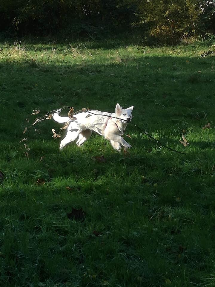 Zwitserse witte herder pup Raeye november 20220