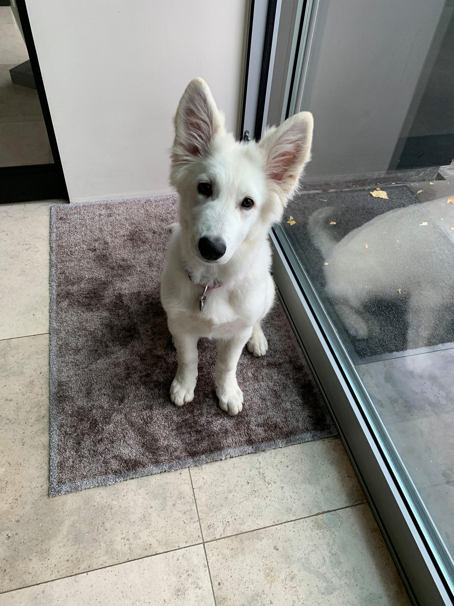 Zwitserse witte herder pup Raiza november 2020
