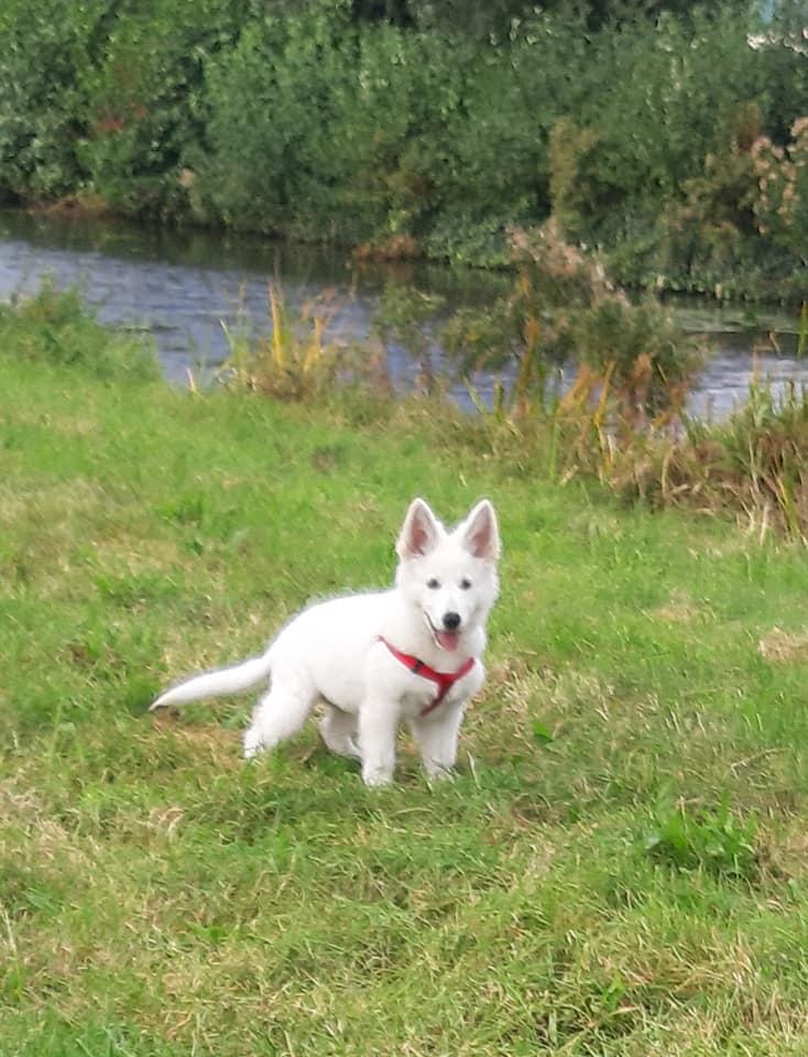 Zwitserse witte herder pup Regina Sky oktober 2020