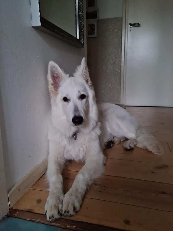 Zwitserse witte herder pup Rhea Denali januari 2021