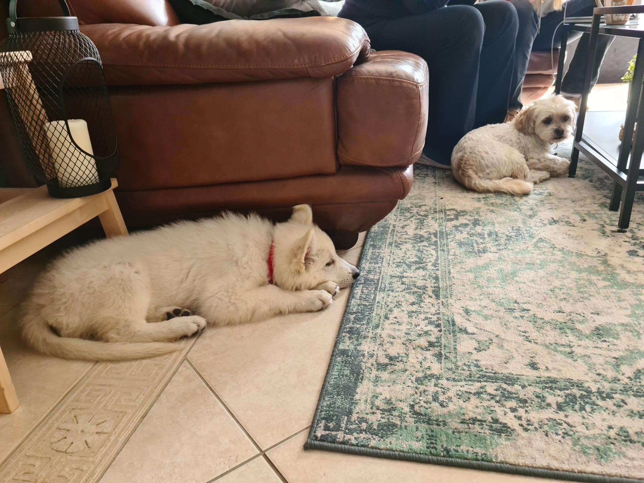 Zwitserse witte herder pup Rhea Denali op bezoek oktober 2020