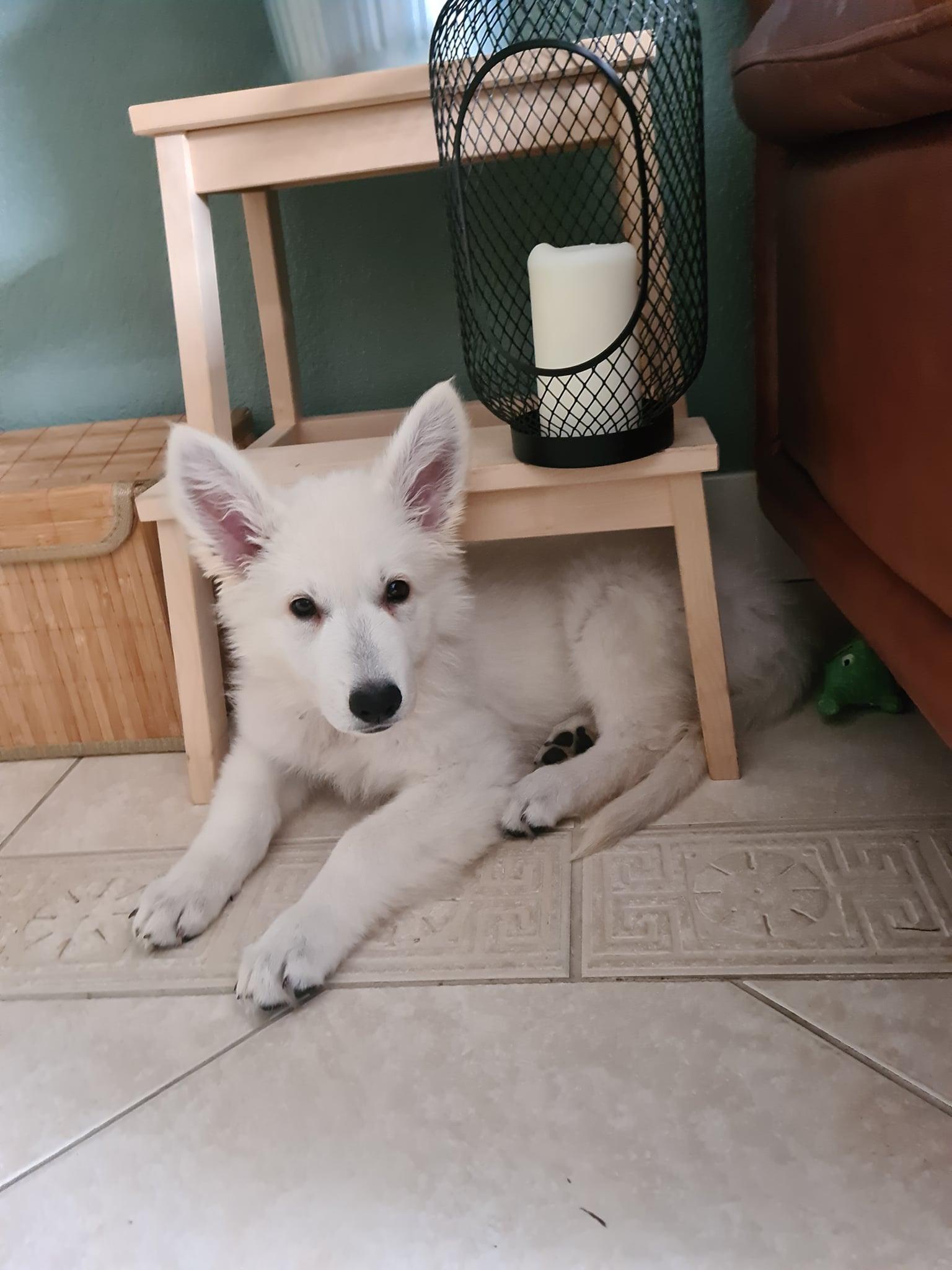 Zwitserse witte herder pup Rhea Denali het ken net oktober 2020