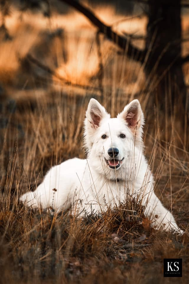 Zwitserse witte herder pup Rio december 2020 erg mooi