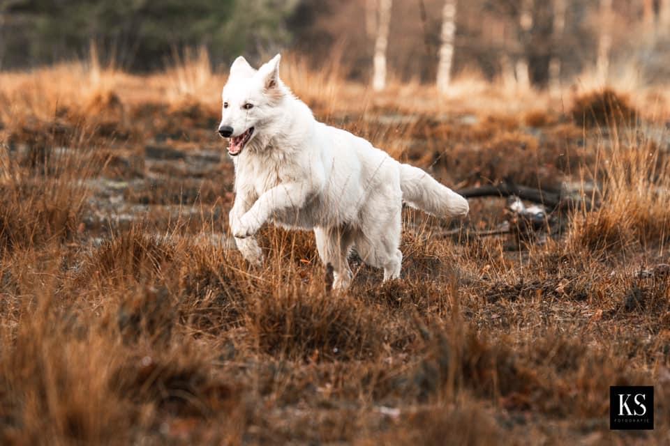 Zwitserse witte herder pup Rio December 2020