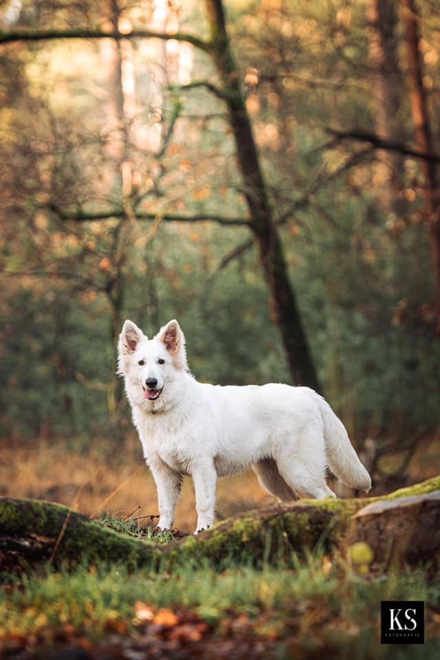 Zwitserse witte herder pup Rio staand december 2020